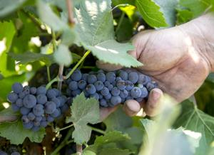 Lodi grape harvest gets early start thanks to persistent drought