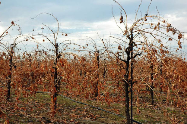 Jack Frost nipping at the vines