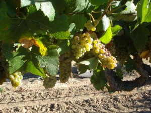 Borra Chardonnay on the Vine