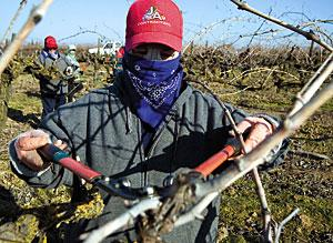 Lodi-area crops weathering cold snap