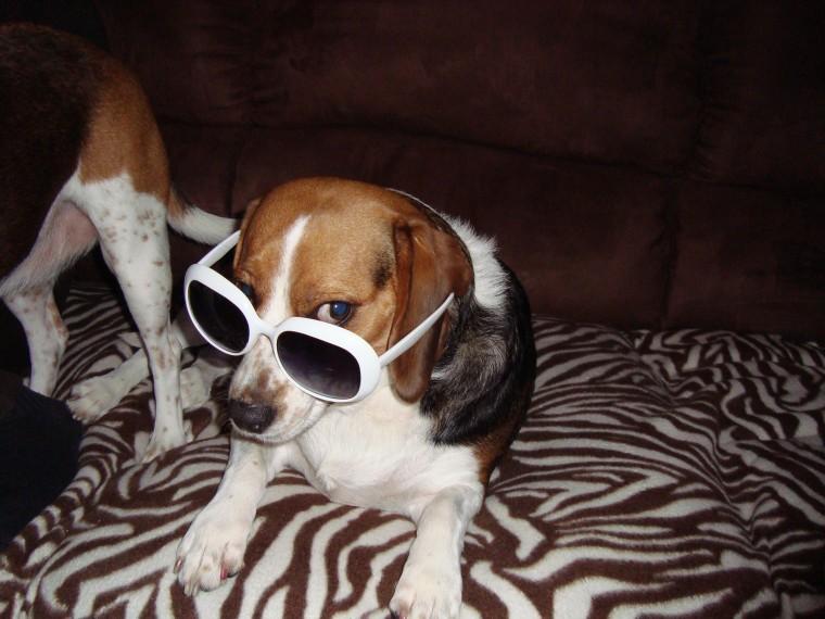 Sexy Beagle