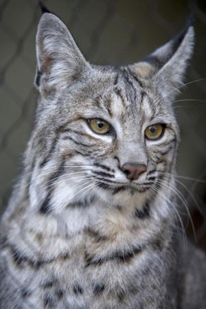 Micke Grove Zoo's feisty new bobcat is right at home in his exhibit
