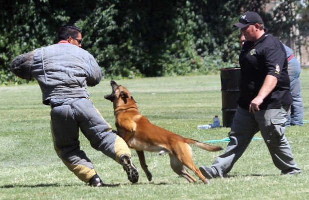 Lodi police dog Kael completes in annual police dog trial