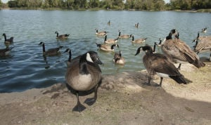 Lodi council members seek solutions to flap over goose droppings at Lodi Lake