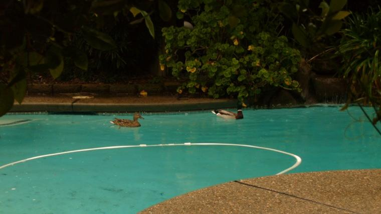Unexpected pool guests
