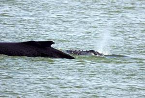 Whale watching in Rio Vista