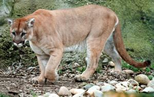 Monte, Micke Grove Zoo's mountain lion, dies