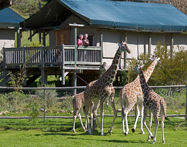 See African wildlife at Safari West