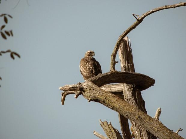 hawk from Lodi Lake Park