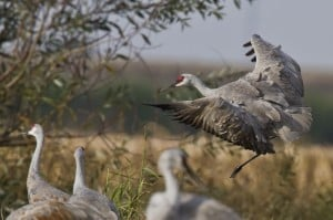 Cranes gather in wetlands to avoid predators.