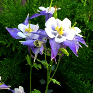 columbine