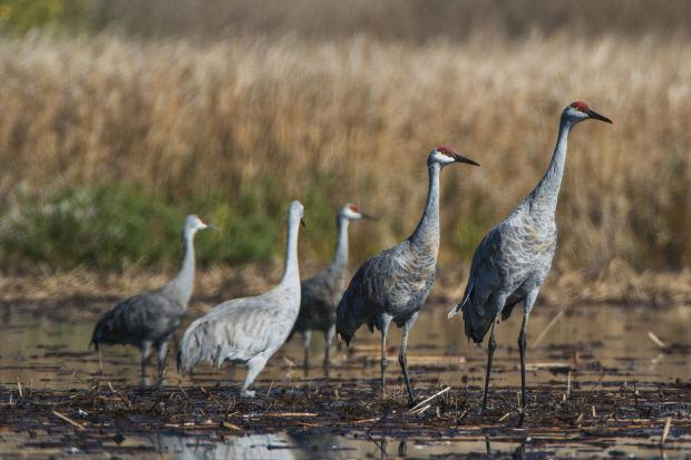 Sandhill Cranes are coming!