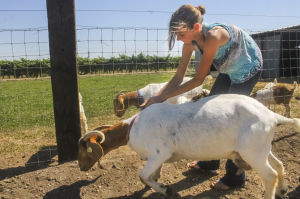 Area 4-H, FFA members get their animals ready for the San Joaquin Fair