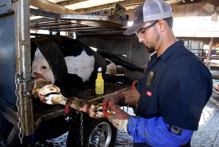 A day at working the dairy: I should have worn long pants