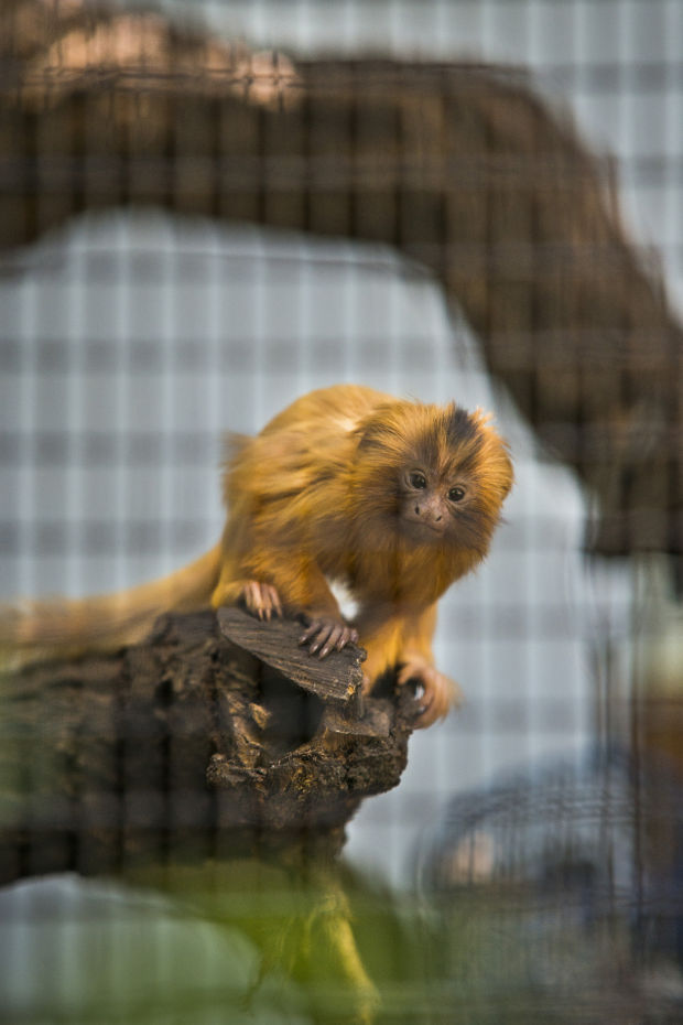 Baby tamarin is Micke Grove Zoo's newest resident