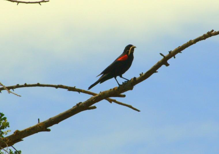 Redwing Blackbird Hunting