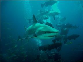 Close-up Caribbean Reef Shark
