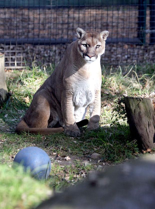 Monte, Micke Grove Zoo's mountain lion, dies
