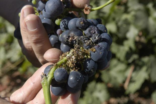Lodi growers set up sting on pests