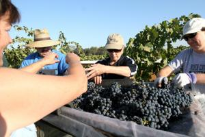 Handpicking grapes — an old world art — still alive in Lodi