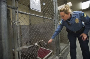 Attack Leaves Beloved Pet Dead, Lodi Woman Calling For Change: Animal Control Officer Jennifer Bender lets a mixed breed pit bull lick her hand at the animal shelter on Tuesday, April 23, 2013. According to Bender, 40 percent of the gods at the shelter a pit bulls and pit bull mixes.  - Photo by Dan Evans/News-Sentinel