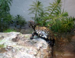 Micke Grove Zoo staff welcome baby Western pond turtles