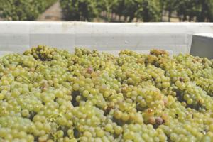 A crushing victory: 2016 Lodi grape harvest second largest on record