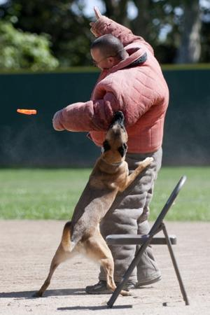 Police dogs take on agility, searches, biting the bad guys at Lodi trials