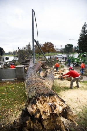 70-foot Tree Topples, Taking Down Light Post: A crew works quickly to remove a 70-feet tall tree that fell at Tokay High School, taking out a traffic light with it, during a storm Wednesday, Nov. 28, 2012.  - Dan Evans/News-Sentinel