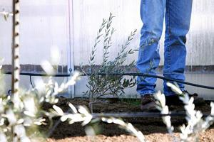 With the help of donations, Tokay students cultivate plot of olive trees