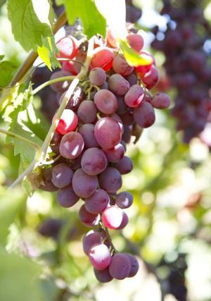 Lodi's forgotten fruit: Flame Tokays