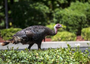 Lodi woman claims to be owner of turkey dubbed 'Tom Kettleman'