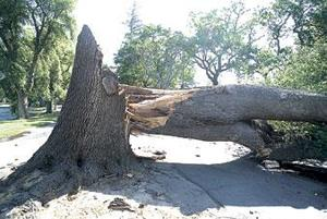 Fierce winds in Lodi knock down trees, knock out power