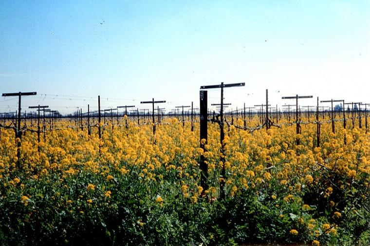 Mustard plants in bloom