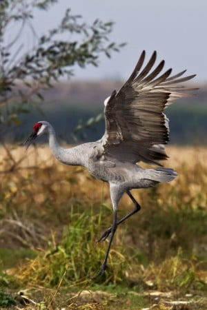 On land, cranes can really dance.