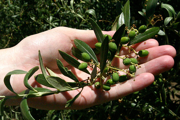 Commodity of the future: Olive oil
