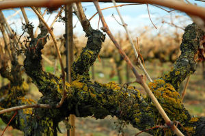 Photos: Jack Frost nipping at the vines