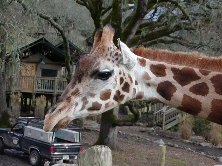 Giraffe eating a truck