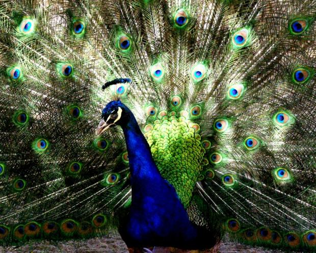 Peacock at Wickiup AZ