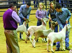 Judging the goats