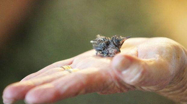 newborn hummingbirds