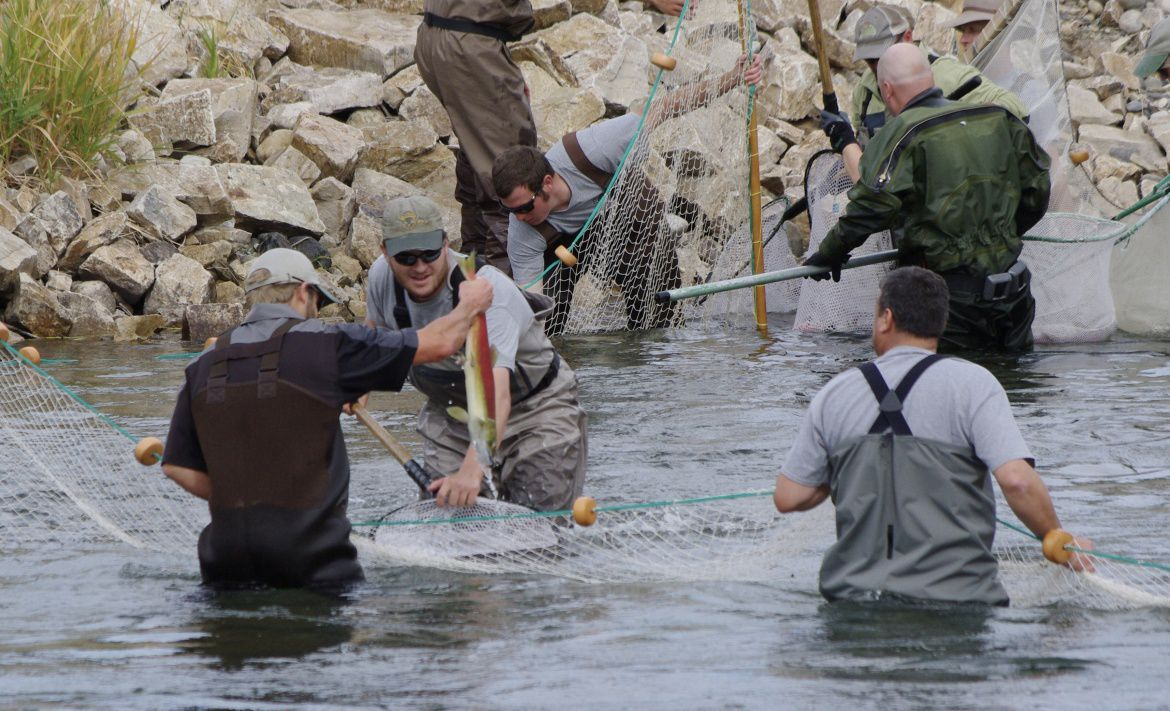 Phillips sockeye roundup ends long journey helps ensure for Idaho department of fish and game