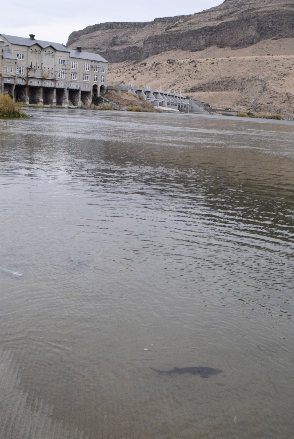 Phillips fish and game stocks sturgeon now the wait for Idaho department of fish and game