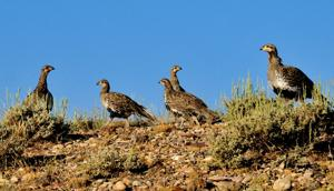 UPDATE: Report: Sage Grouse Needs 3-mile Buffer from Drilling