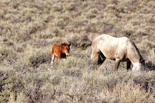 Gallery Wild Horses Of Idaho