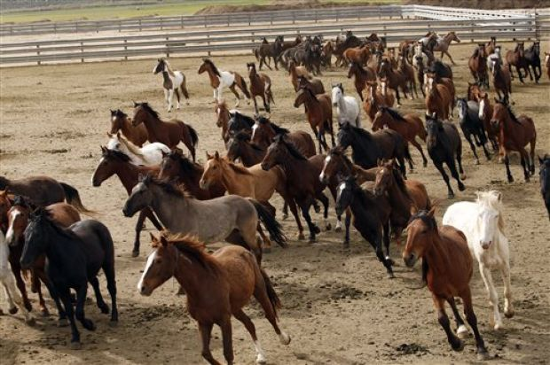 Panel Us Should Let Nature Cull Wild Horse Herds