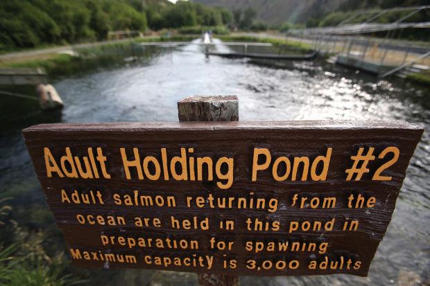 Watch salmon spawn at rapid river hatchery for Virginia fish hatchery