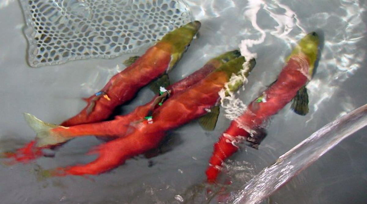 Fish and game to release sockeye into lakes outdoors and for Idaho fish and game jobs