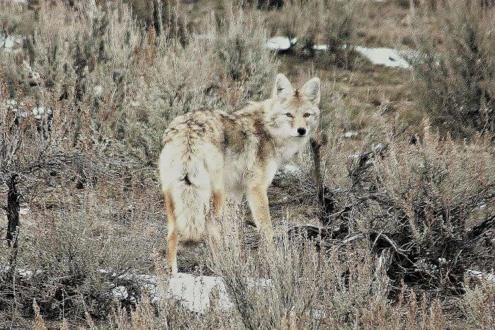 Coyote Attacks Dog on Pocatello-area Trail