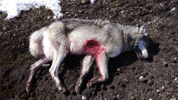 Pin Wolf Killed By Dog on Pinterest